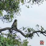 nyungwe singe forêt