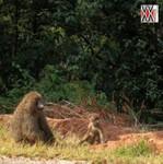 famille singe nyungwe